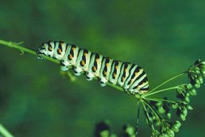 swallowtail caterpillar2